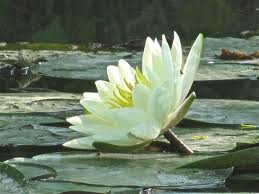 Water Lily (White) Essential Oil