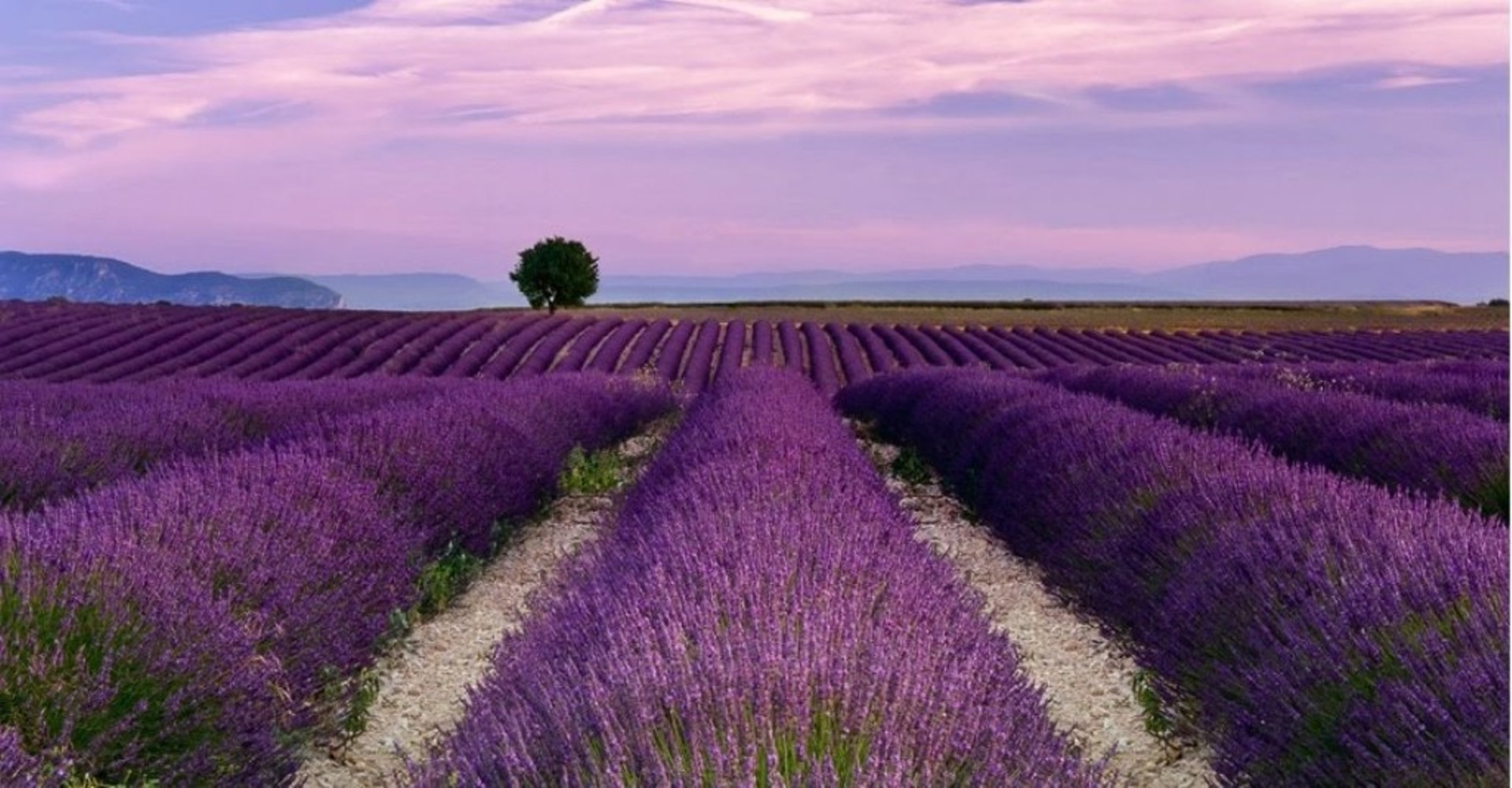 Intoxicating Essence of Lavender Indulge Yourself!
